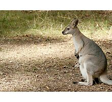 Wallaby Three Photographic Print