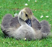 A Canada Goose Gosling by AARDVARK