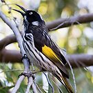New Holland Honey-Eater Gives Warning by Sandra Chung