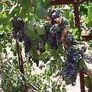 Grapes on the Vine by Cathy Jones