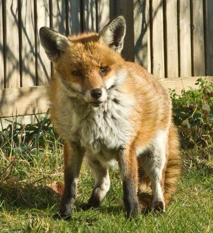 Sleepy fox in suburbia Sticker