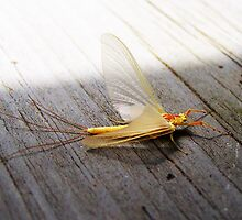 Mayfly in June by RLHall