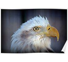 Fontana Eagle Portrait 2 Poster