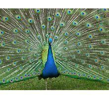 Peacock Show Photographic Print