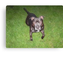 Handsome Staffordshire bull-terrier Canvas Print