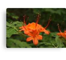 Flame Azalea Canvas Print