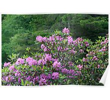 Catawba Rhododendron Poster