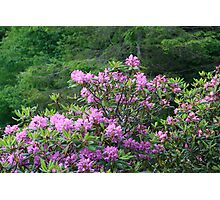 Catawba Rhododendron Photographic Print