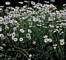 Field of Daisies by Judi Taylor