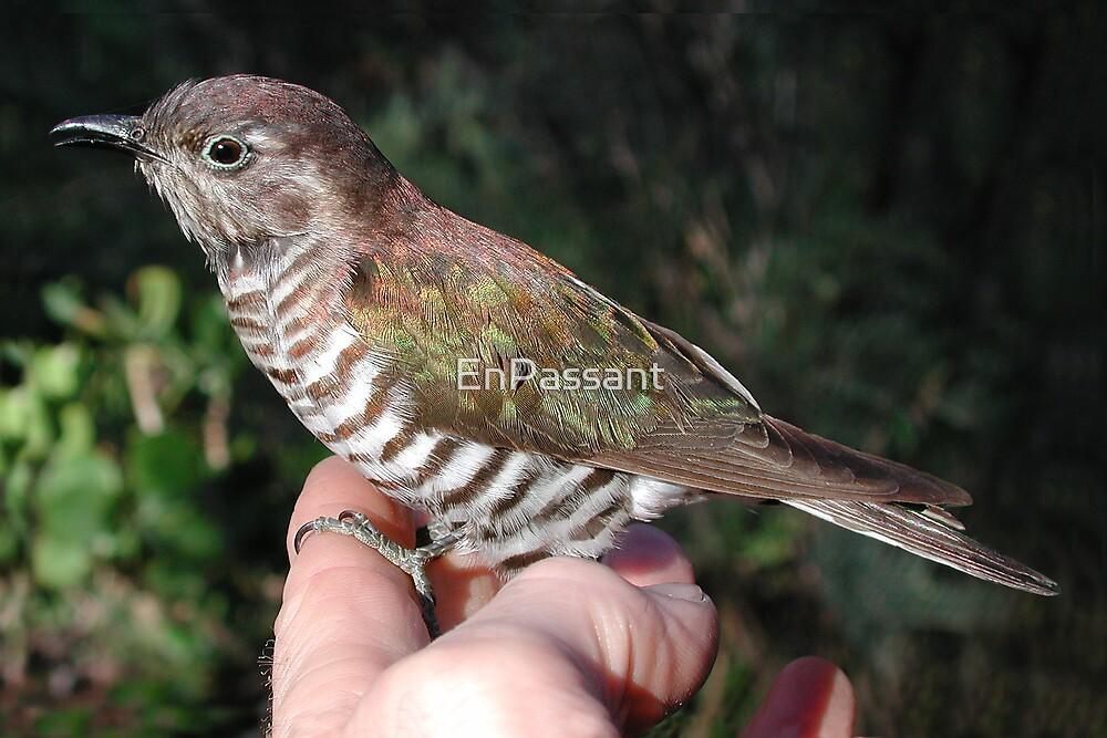 Shining Bronze Cuckoo by EnPassant