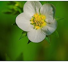 WILD STRAWBERRY FROM MOLLY'S MEADOW by YELLOWJACKET