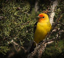 Western Tanager in Juniper by Ryan Houston
