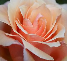 Peach Rose by yortman