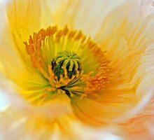 Poppy by salsbells69