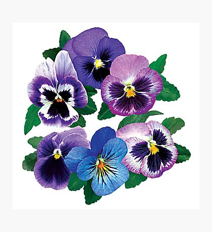 Circle of Purple Pansies Photographic Print