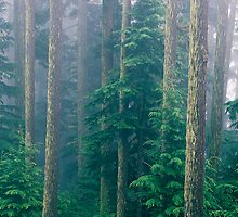 Fir trees and fog near Hurricane Ridge by Colin Reed