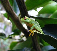 graceful treefrog by ajax