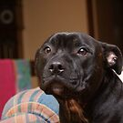 Mitch The Staffy by Ajmdc