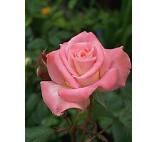 Rich pink rose Photographic Print