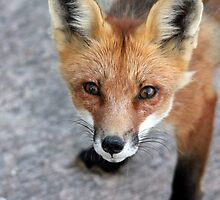Please Feed Me - Red Fox by Debbie Oppermann