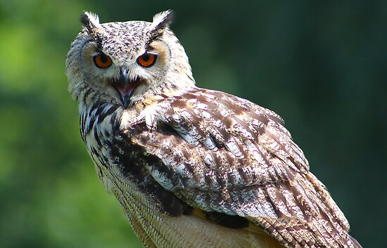 Eurasian Eagle-owl by jdmphotography