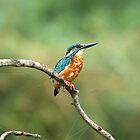 The Kingfisher by Tawny