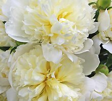 Two White Peonies by Tom  Reynen
