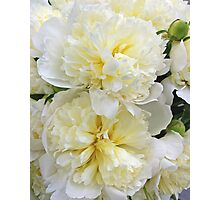 Two White Peonies Photographic Print