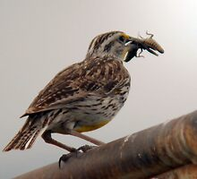Western Meadowlark - Full Beak by Ryan Houston