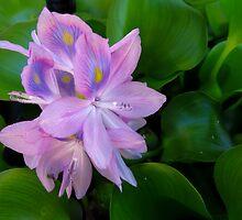 Lavender Water Hyacinth by SRowe Art