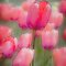 Tulips in line 2 by DaveBassett