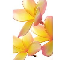 Yellow Frangipani Photographic Print