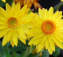 Yellow paper daisies by Samben Photography