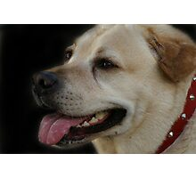 Rescued Labrador Photographic Print