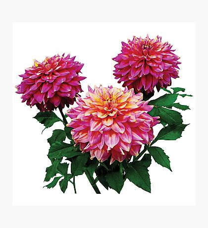 Pink Dahlias Kidds Climax Photographic Print