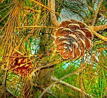 Pine Cones by waseem