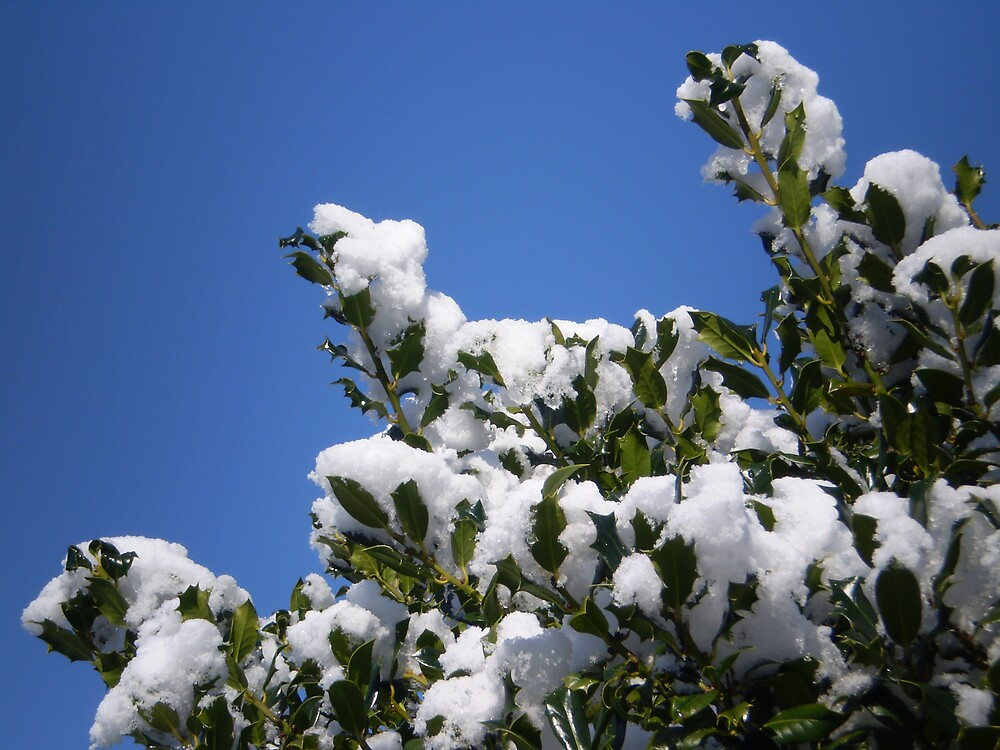 Snowy Holly by oscars
