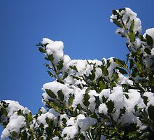 Snowy Holly by oscars