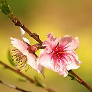 Peach Flower by Xandru