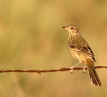 Sage Thrasher on Barbed Wire Fence by Ryan Houston