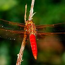 2008 Big Red - - libellula croceipennis  (Neon Skimmer dragonfly) by Dennis Jones - CameraView