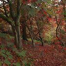 The splendor of acers in the fall by miradorpictures