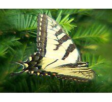 Velvet Wings Photographic Print