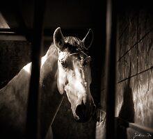 The Lipizzan by John  De Bord Photography