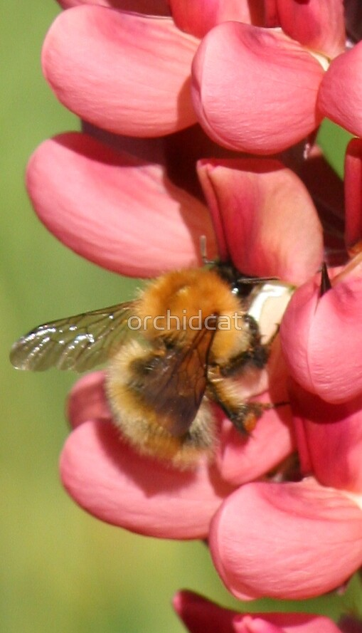 Fluffy bee on lupin 1 by orchidcat