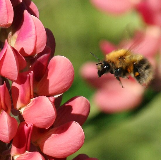 Bee on lupin 2 by orchidcat