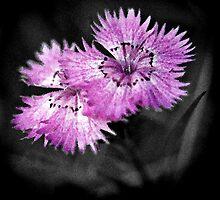 Dianthus by Lenka