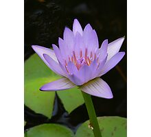 Soft Lavender Water Lily Photographic Print