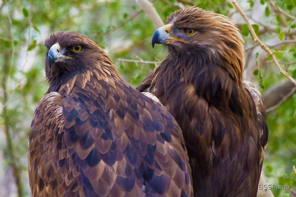 Golden Eagles by BGSPhoto
