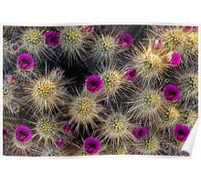 Blooming Cactus Poster